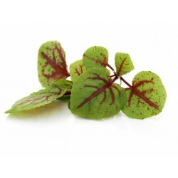 Mini Red Sorrel