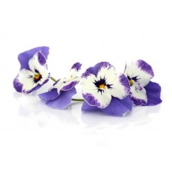 """Delft'' blue pansies"