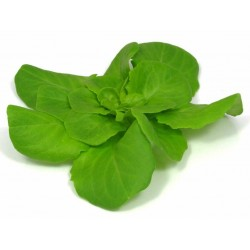 Mini Butter Lettuce Green