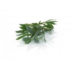 Sea fennel