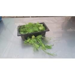Salad peas