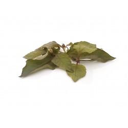Spilanthes herb