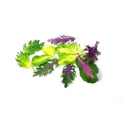 Colorful koolleaves