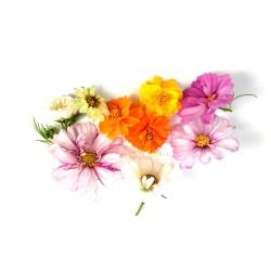 Cosmea bloemenmix
